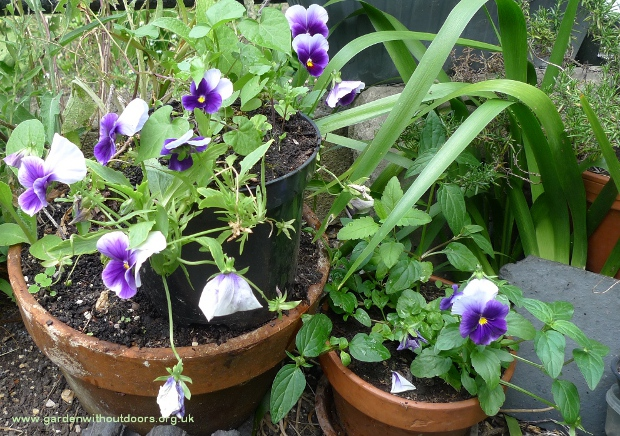 Beaconsfield pansy