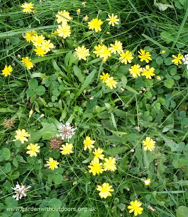 Garden weed identification guide garden withoutdoors autumn hawkbit mightylinksfo