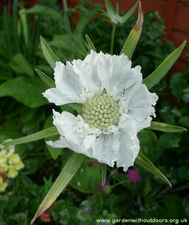 House's Novelty scabious