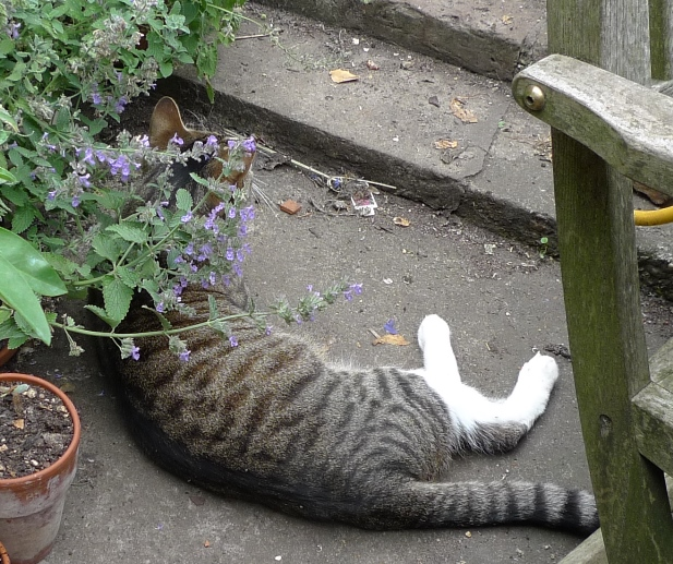 cat with nepeta fassennii
