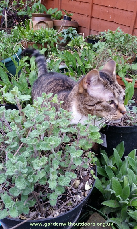 cat with nepeta