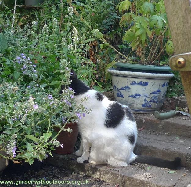 cat in nepeta