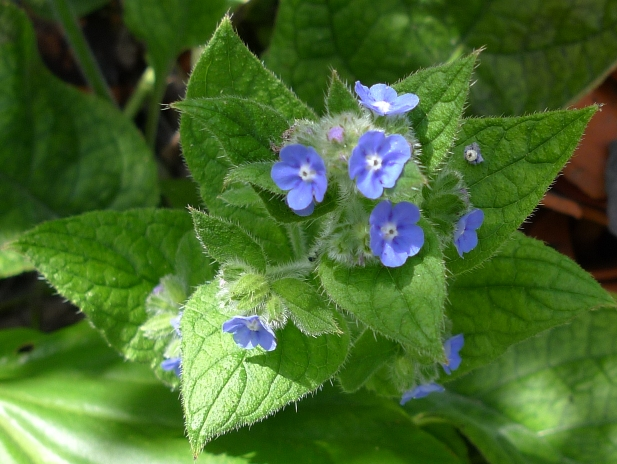 Green Alkanet I Don T Care It S Considered A Weed Has Bequtiful Blue Flowers The Bees Liked And Was In Bloom Before Just About Anything Else
