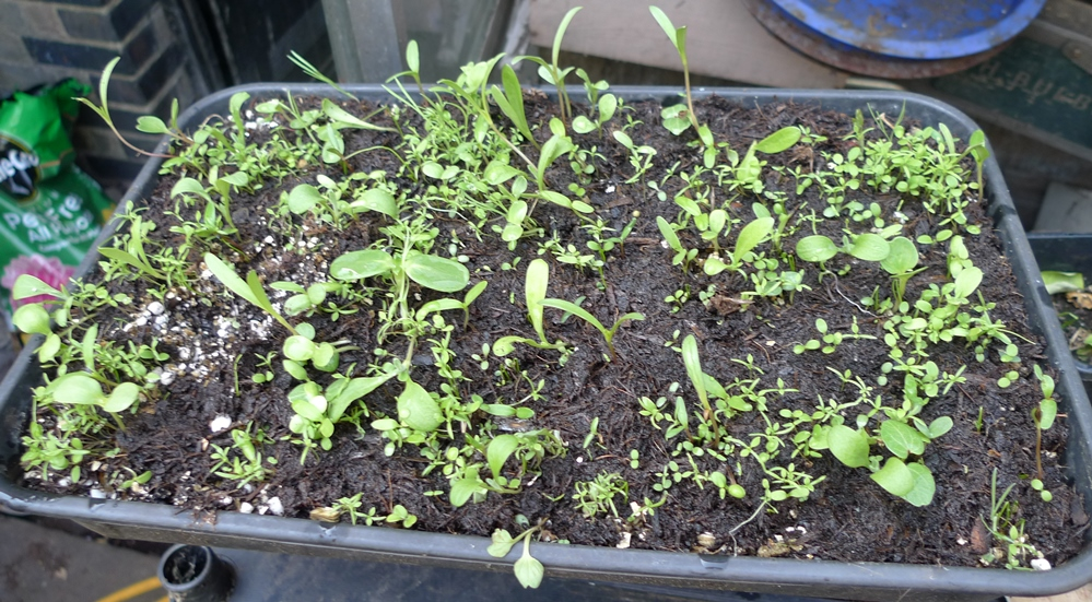 sainsburys bee seedlings