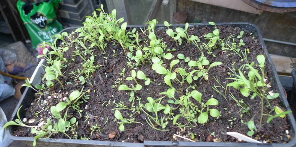 sainsburys butterfly seedlings