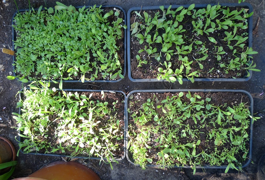 sainsburys seedlings
