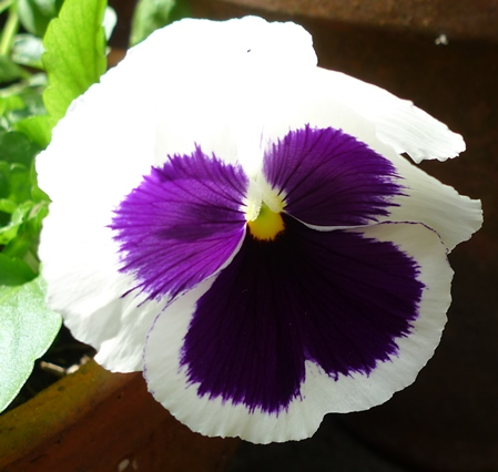 Tasty Pansy flower