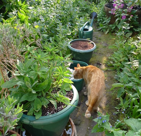 cat drinking in garden