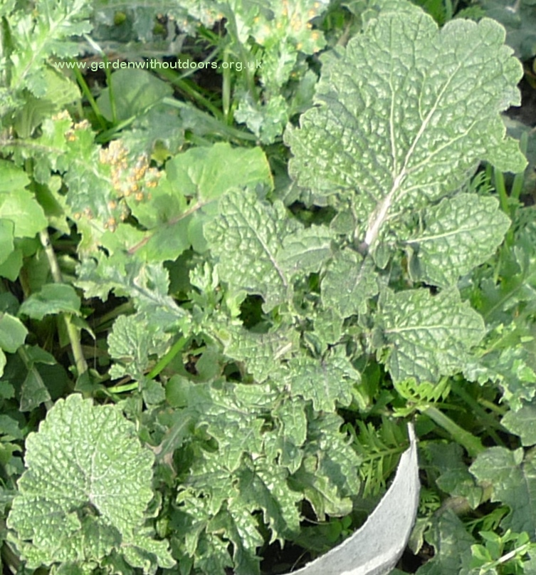 hedge mustard leaf