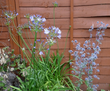 agapanthus and sea holly
