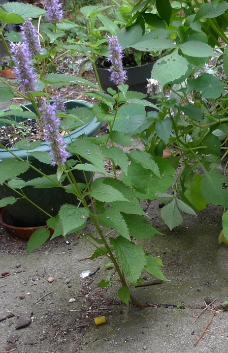 agastache stems between paving stones