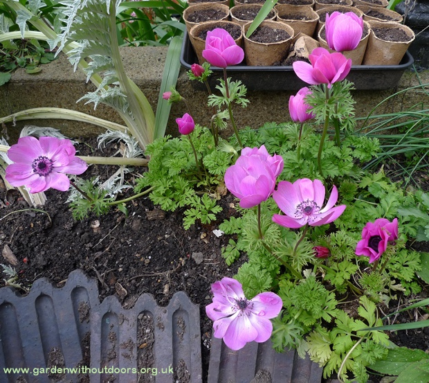 anemone harmony orchid