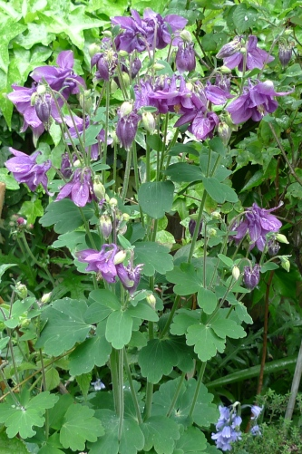 To The Right Of Aquilegia Is A Stachys Byzantina Or Lambs Ear Which Self Seeds Like Mad So You May Find It Springing Up Weed In Your Garden