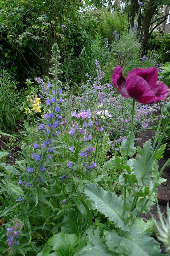 echium vulgare and echium Blue Bedder