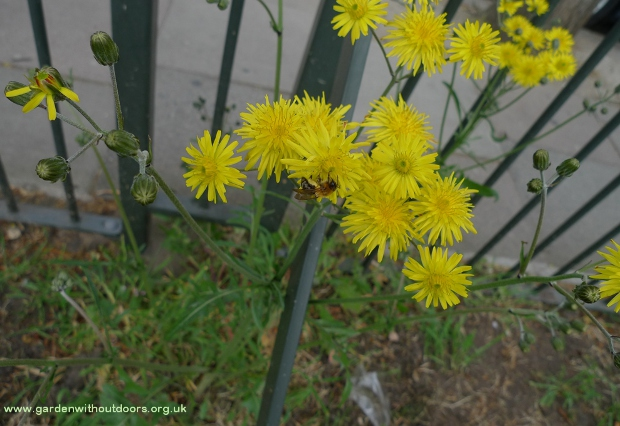 beaked hawks-beard crepis versicaria with bee