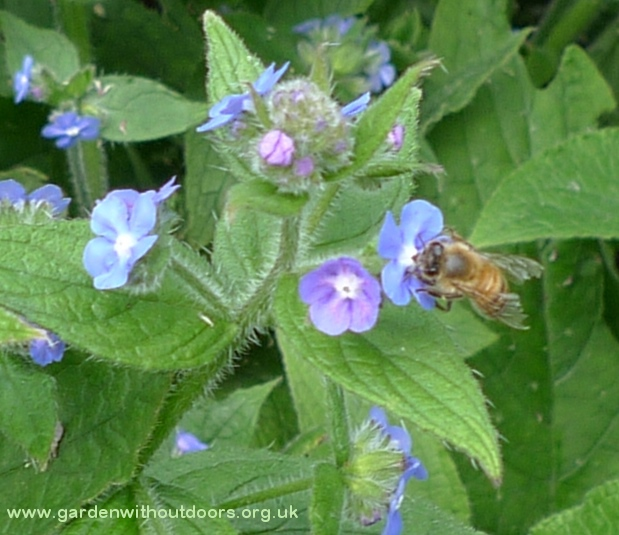 bee on green alkanet