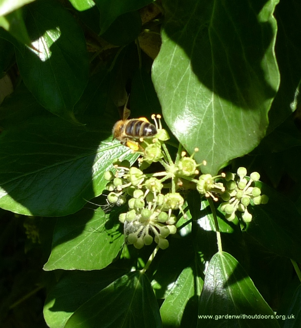 bee on irish ivy