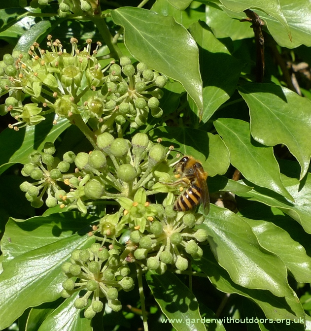Irish ivy with bee