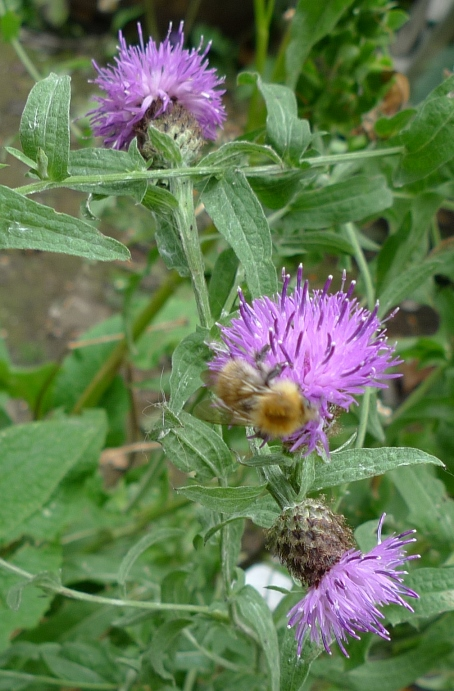 bee on lesser knapweed