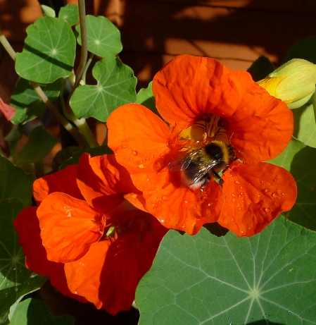 bee on phoenix nasturtium