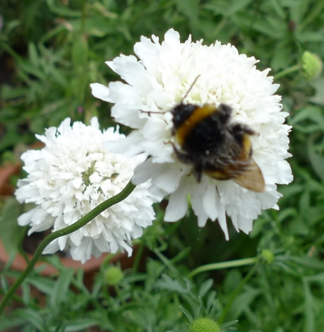 bee on scabious