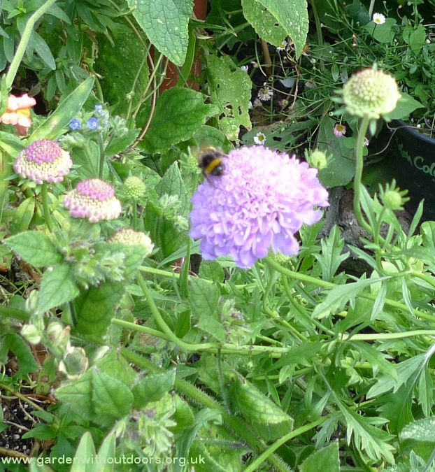 bee on scabious blue cushion