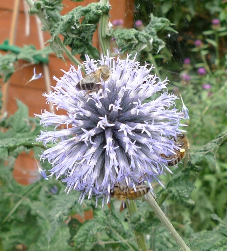 globe thistle with bees