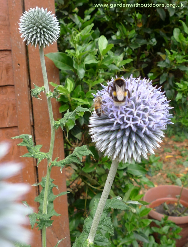 bees on globe thistle