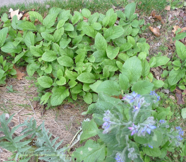 borage and green alkanet