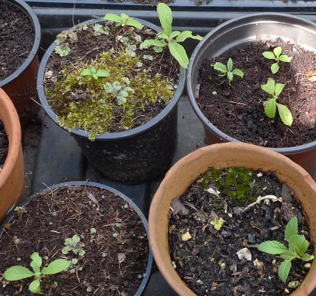 buddleja seedlings