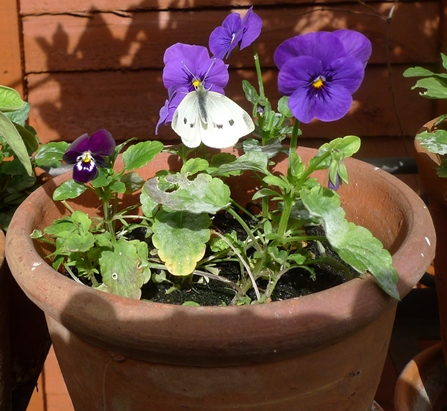 butterfly on viola