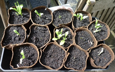 calendula seedlings