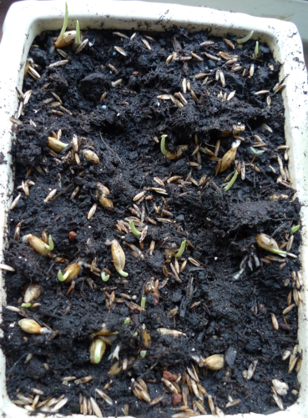cat grass seedlings