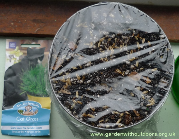 cat grass seed sowing