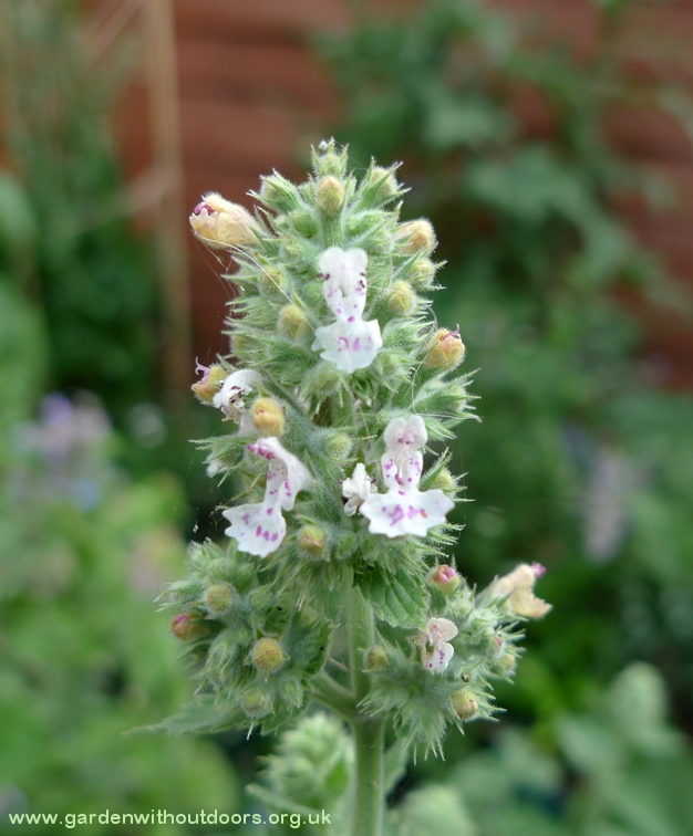 catnip nepeta cataria white flowers