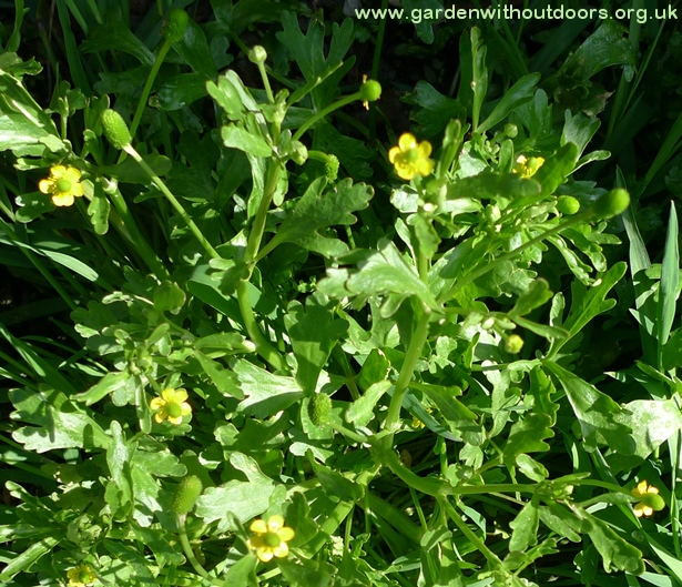 celery-leaved crowfoot