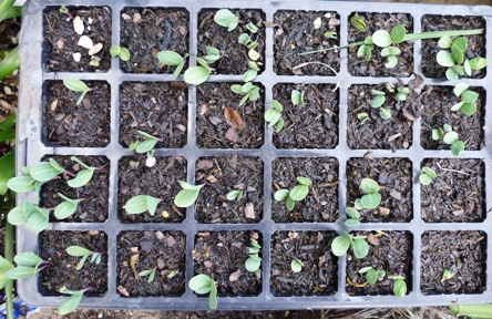 cerinthe seedlings