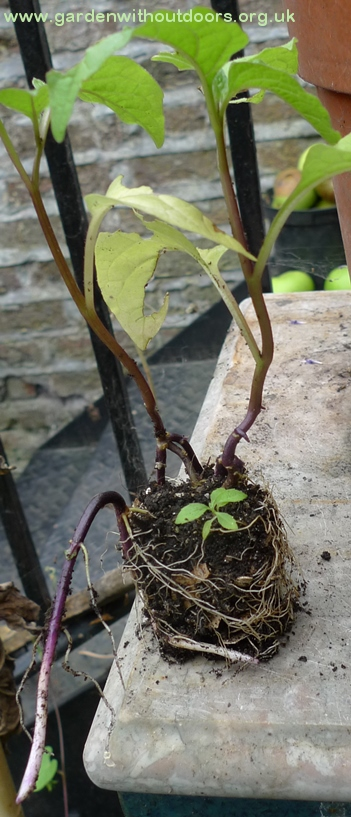 chinese lantern seedlings