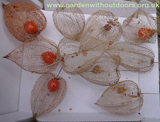 chinese lanterns with seeds