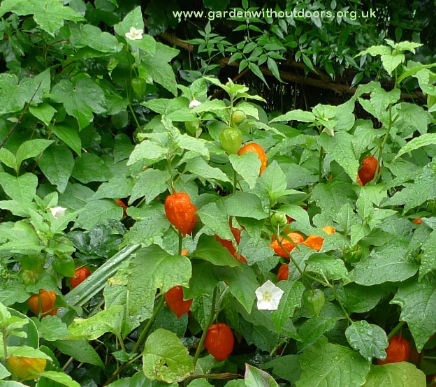 chinese lanterns fruit and flowers