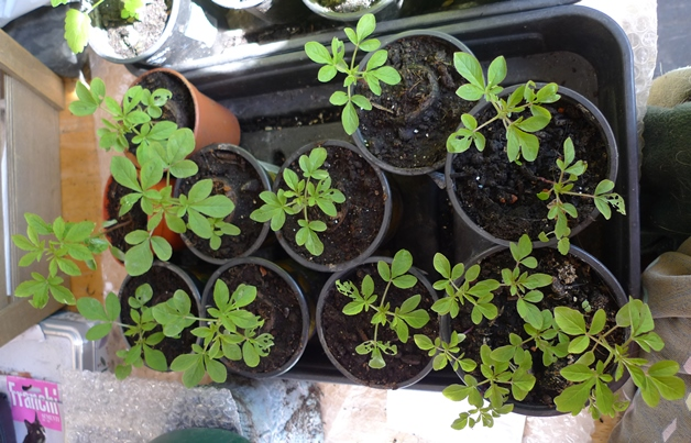 cleome seedlings