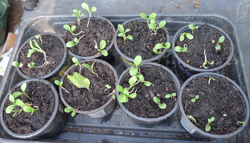 cornflower seedlings