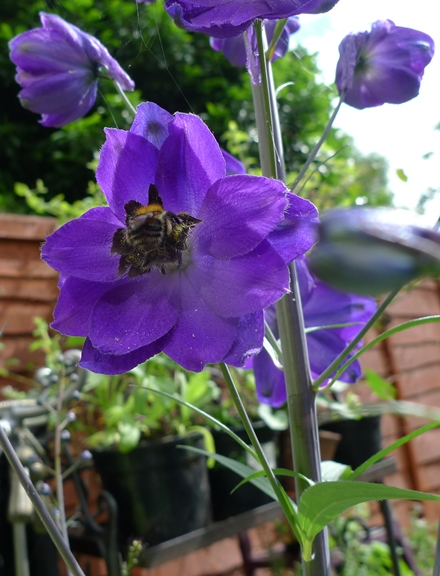 delphinium with bee