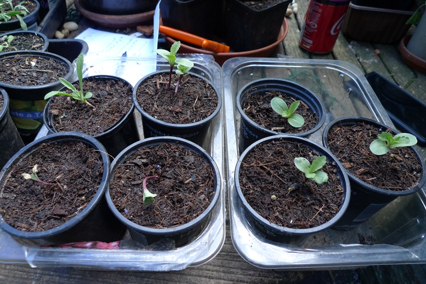 drumstick scabious seedlings