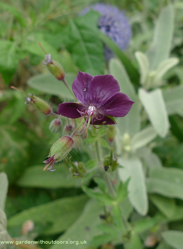 dusky cranesbill Crick Institute