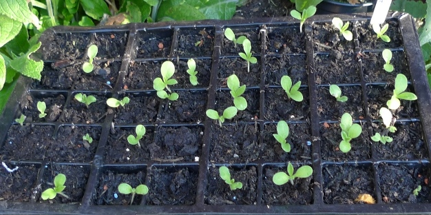 echium blue bedder seedlings