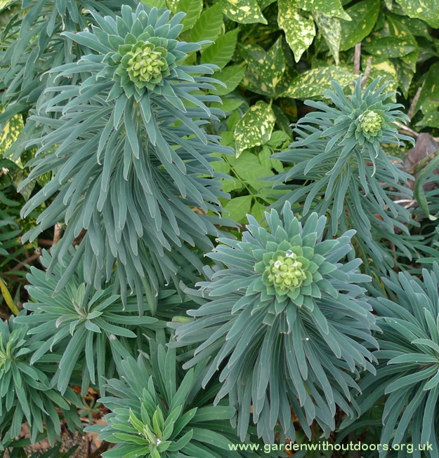 euphorbia and aucuba