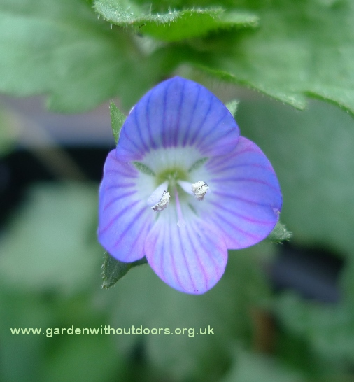 common field-speedwell flower
