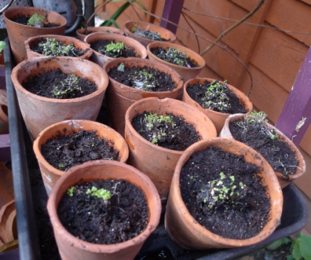 foxglove seedlings