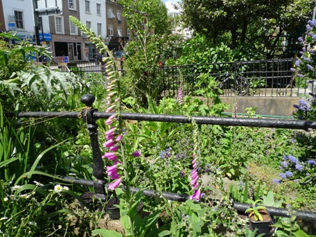 foxgloves in London front gardens